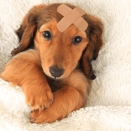 Pleister op de hond